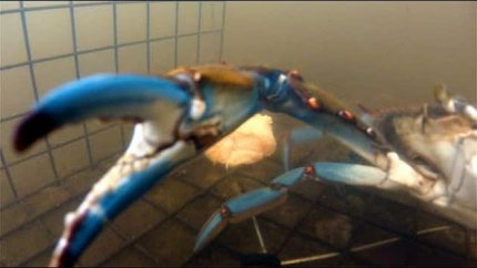 Catching Blue Crab - GoPro Underwater Crabbing!