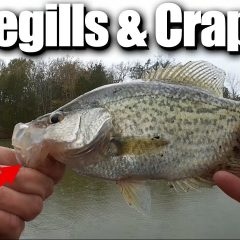 Float Fishing for Bluegills and Crappie with Gulp Minnows and Worms