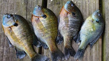 How to Catch Clean Cook Bluegill! Awesome bluegill bait and bluegill recipe