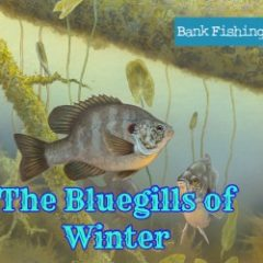 Bluegills and Shellcrackers