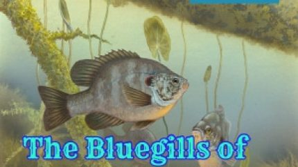 Bluegills and Shellcrackers